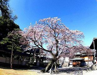 本堂前のしだれ桜